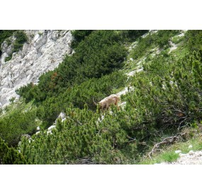 Ibex among the mountain pines