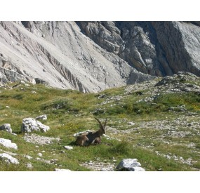 Ibex resting at Forcella Duranno
