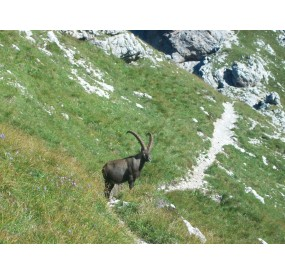 Old male Ibex at Forcella Duranno