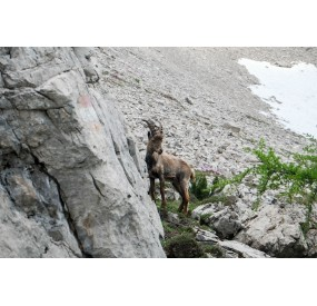 Encounter with an ibex, near Forcella Val di Brica